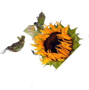 sonnenblume-verwelkt-45
